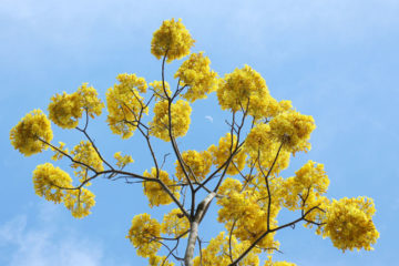 malaybalay-bukidnon-golden-shower-tree-9