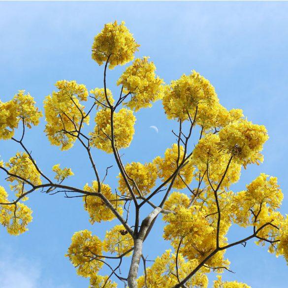 malaybalay-bukidnon-golden-shower-tree-9